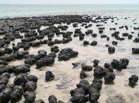 Stromatolity ve Žraločí zátoce