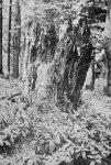 Poslední pozůstatek z Caseriových javorů v roce 1974