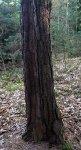 Vrch Čilina - deformace kmene na straně odvrácené od liziny