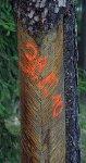 Oddělení se nařezanými borovicemi jsou trvalými kandidáty na smýcení
